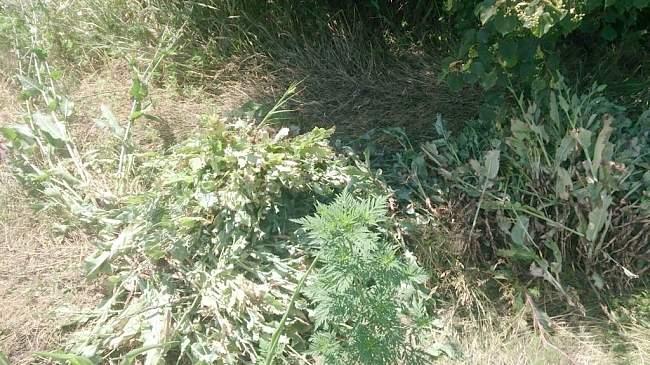 Прокуратурой г. Кировска совместно с полицией обнаружено поле на котором произрастает 1 018 кустов снотворного мака