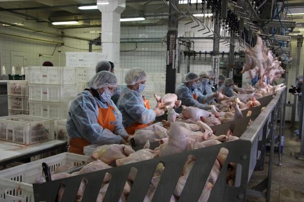 Объем производства мяса птицы на Чернухинской птицефабрике с 2017 года вырос в пять раз (ФОТО)